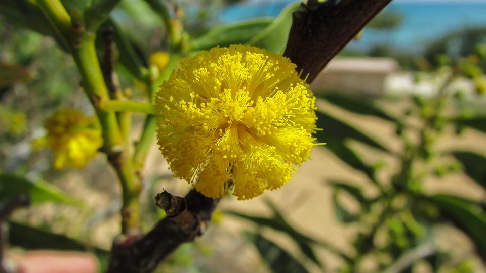 Cyprus, Ayia Napa, Tree, Flower, Yellow, Nature, Flora