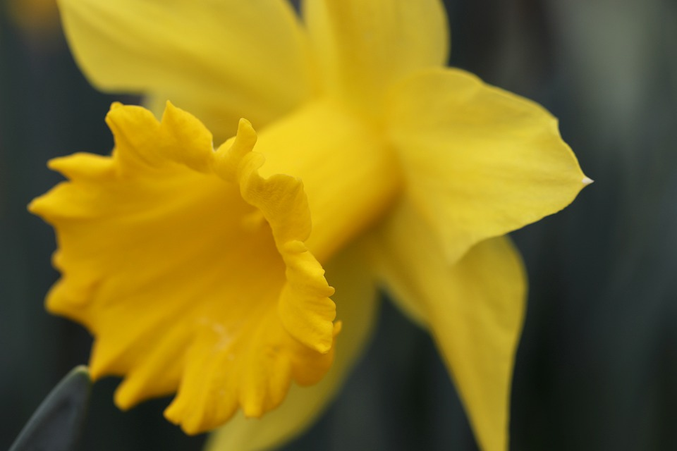 Narcissus, Daffodil, Calyx, Blossom, Bloom, Yellow