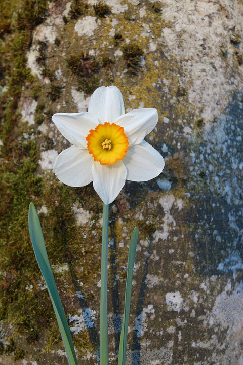 Daffodil, Flower, Blossom, Bloom, Yellow, Plant, Spring