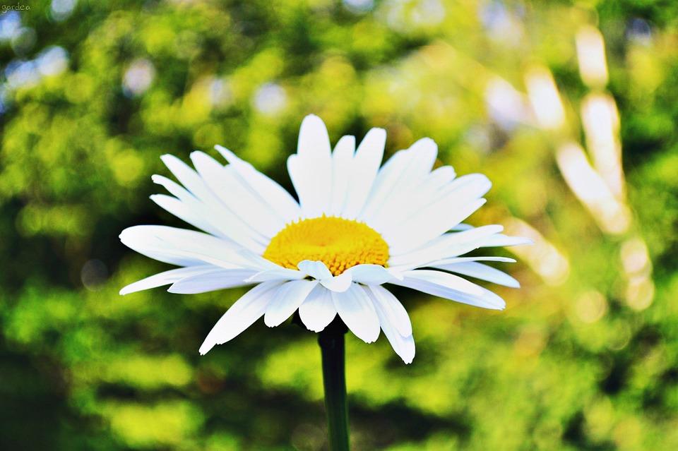 Daisy, Flower, Summer, Closeup, Yellow, Bright