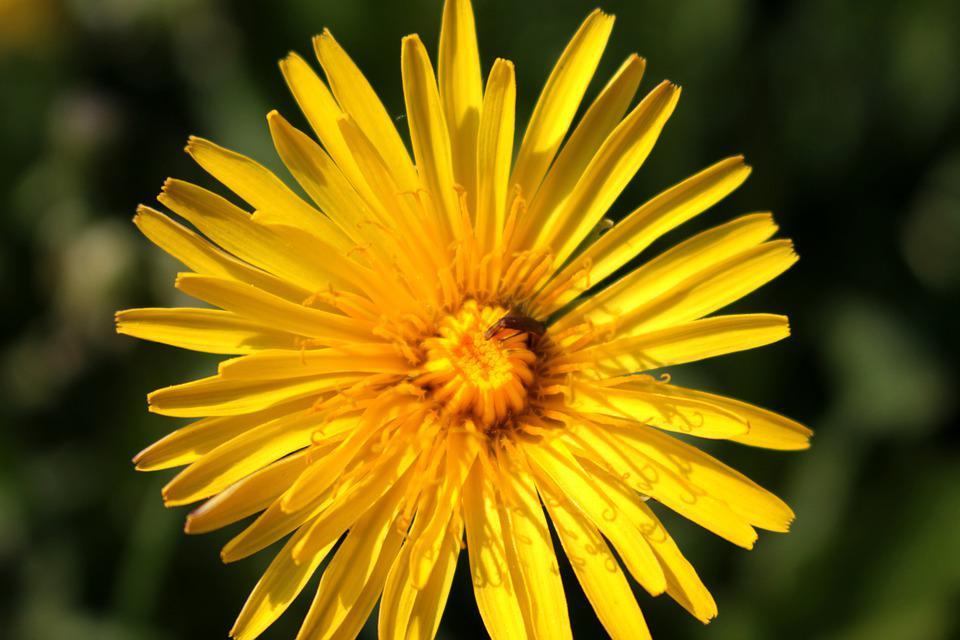 Flower, Spring, Yellow, Dandelion, Green, Background