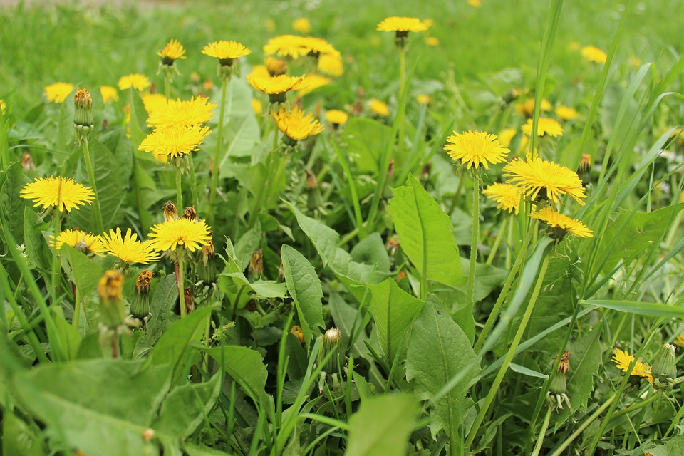 Dandelion, Flowers, Yellow, Nature, Meadow