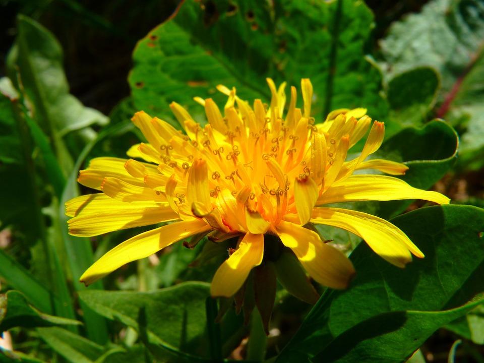 Dandelion, Wildflowers, Close, Meadow, Yellow, Spring