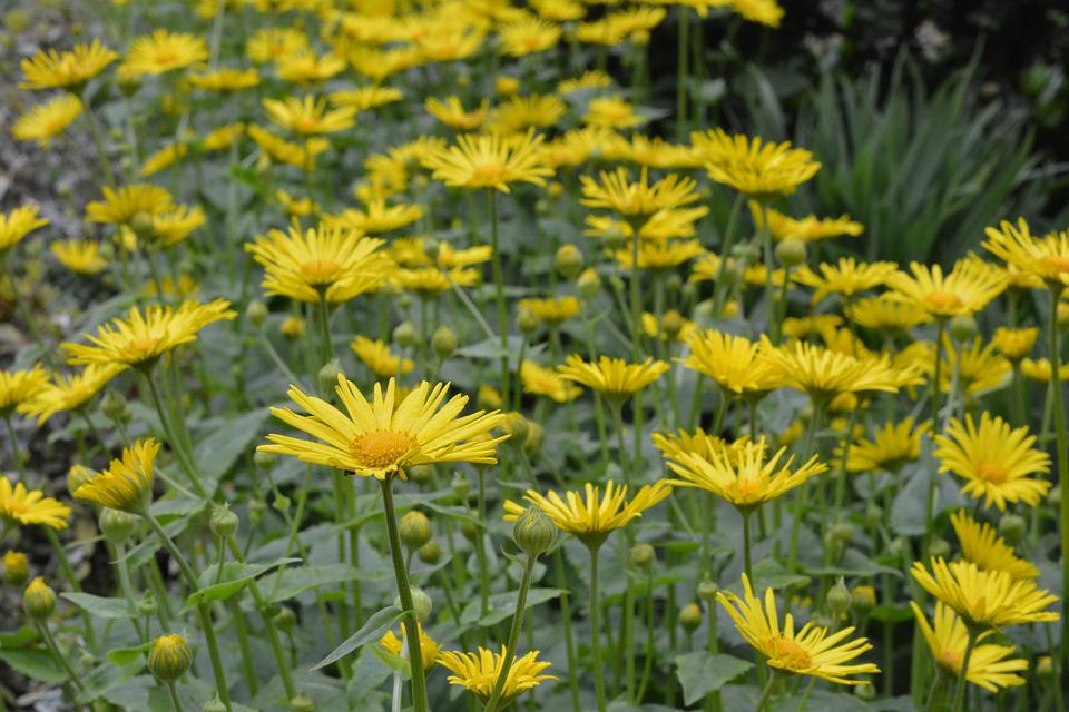 Doronikum Caucasian, Yellow, Flowers, Yellow Flower