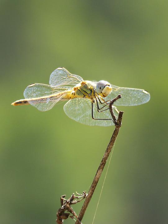 Yellow Dragonfly, Dragonfly, Branch, Greenery