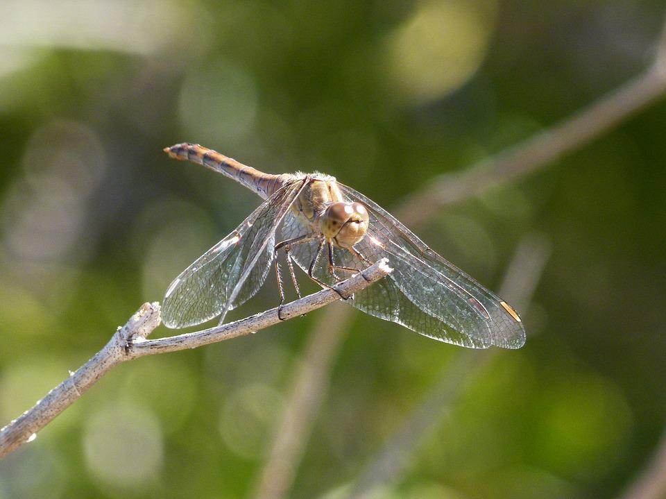 Dragonfly, Yellow Dragonfly, Sympetrum Sinaiticum