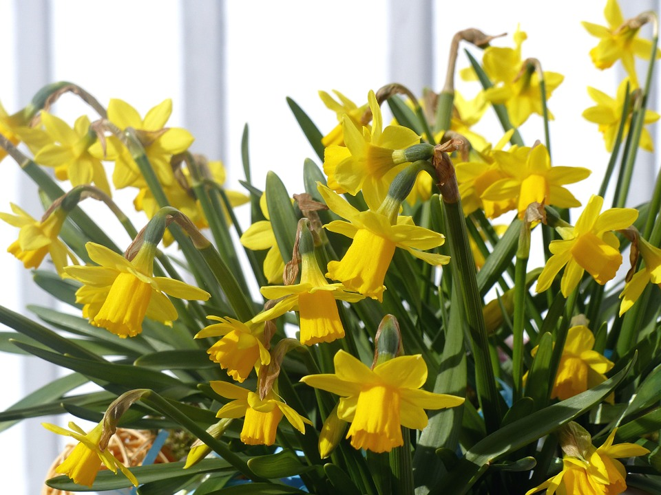 Easter Lilies, Spring, Yellow, Wall, Garden, Easter