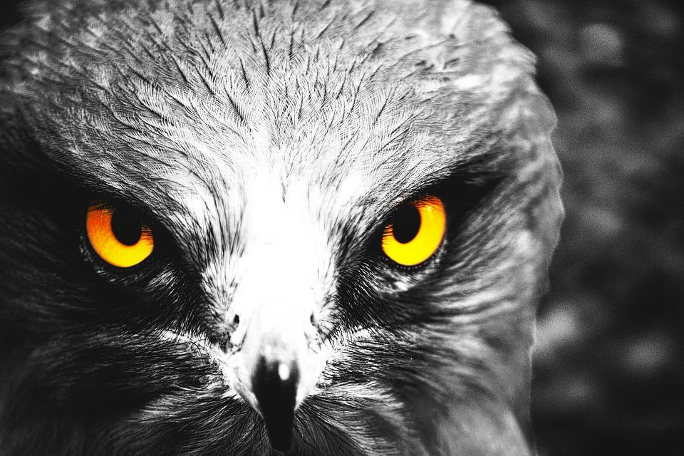 Eagle, Eyes, Yellow, Bird, Yellow Eyes, Cute, Fly, Pet