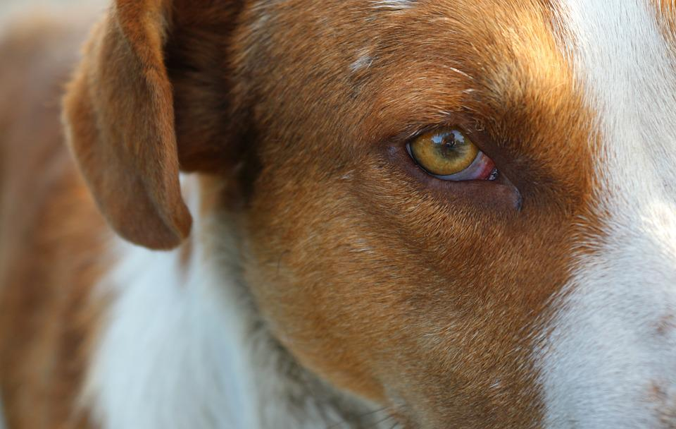 Free Photo Yellow Eyes Red Dog Dog Animals The Dogs Eyes Eye Max