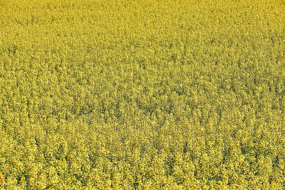 Rapeseed, Agriculture, Field Of Rapeseed, Yellow Field