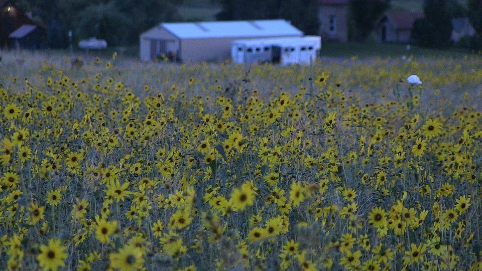 Field, Sunflower, Nature, Flower, Yellow