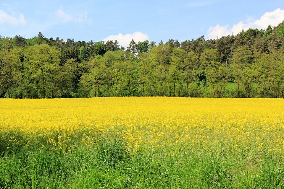 Oilseed Rape, Field Of Rapeseeds, Nature, Yellow