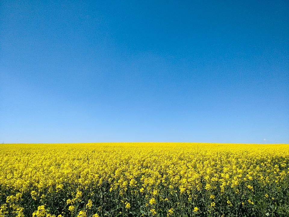Oilseed Rape, Field, Sky, Bright, Yellow, Nature