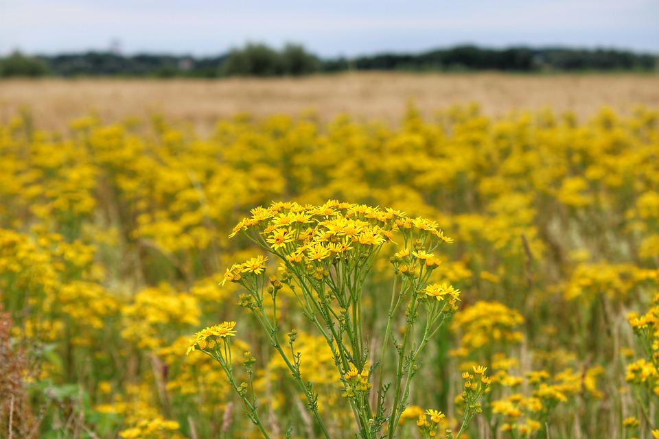 Flowers, Yellow, Field, Wheat, Sky, Clouds, Focus