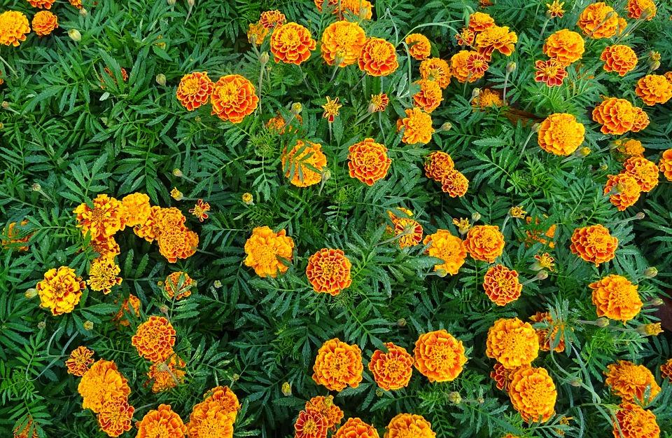 French Marigold, Flower, Marigold, Yellow, Flora
