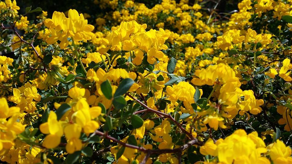 Shrub, Yellow, Flower, Nature, Flora, Sunflower