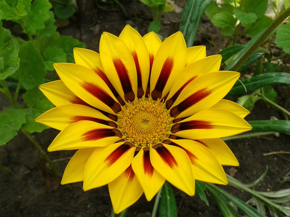 Gazanie, Gazania, African Daisy, Yellow, Flower, Bright