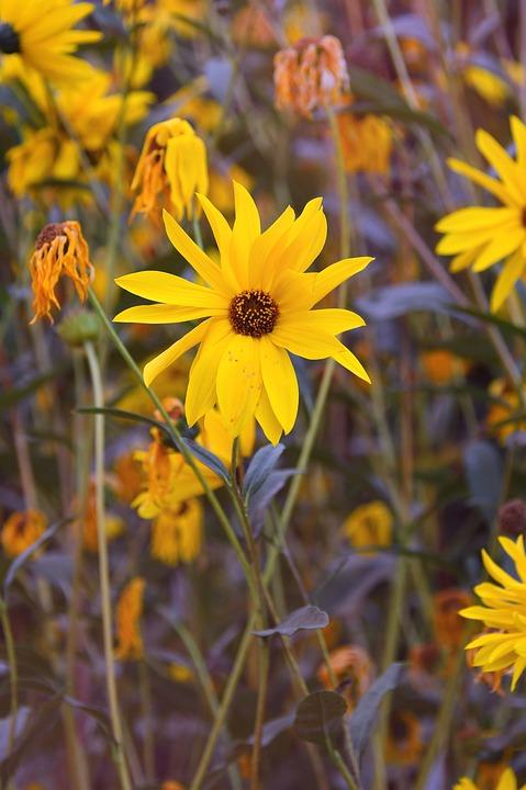 Yellow Flower, Yellow, Fall Flowers, Autumn Mood