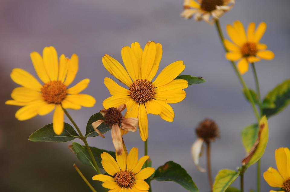 Autumn, Flower, Yellow Flower, Yellow, Flowers, Flora