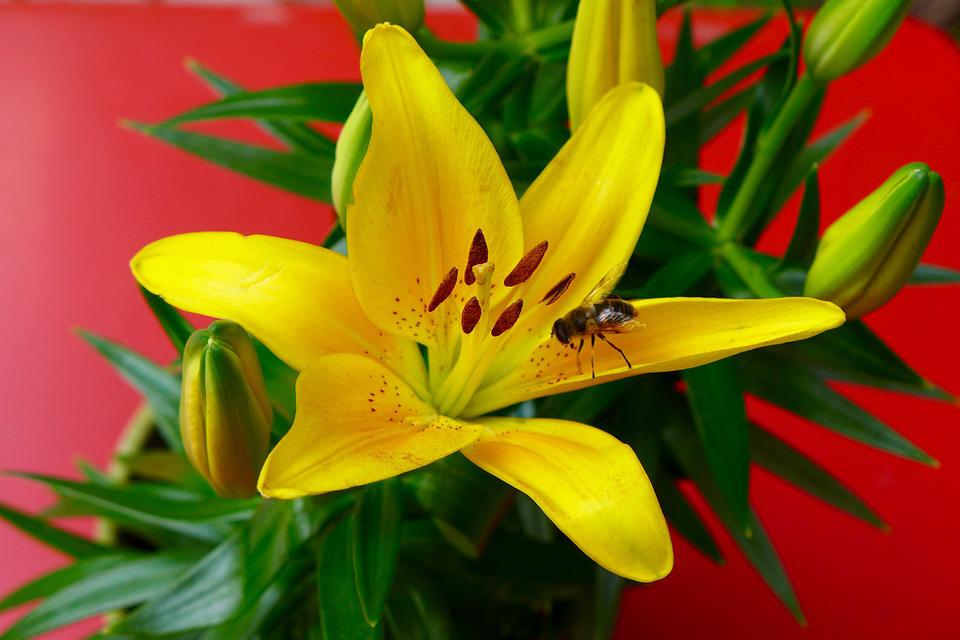 Flower, Lily, Bee, Yellow, Red