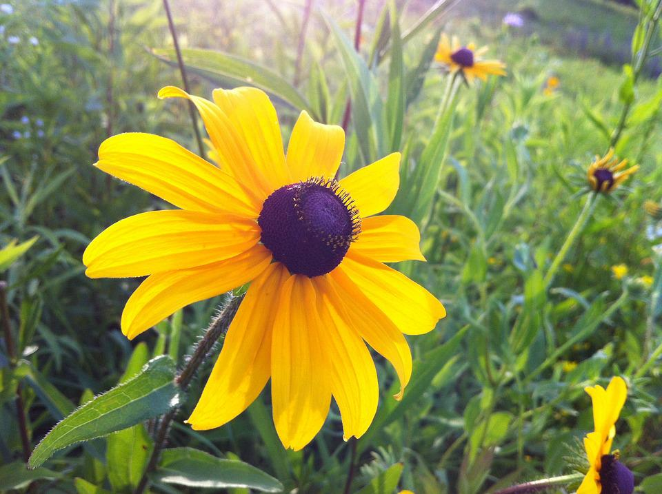 Free photo yellow flower blackeyed susan bloom black center max pixel blackeyed susan yellow flower black center bloom mightylinksfo