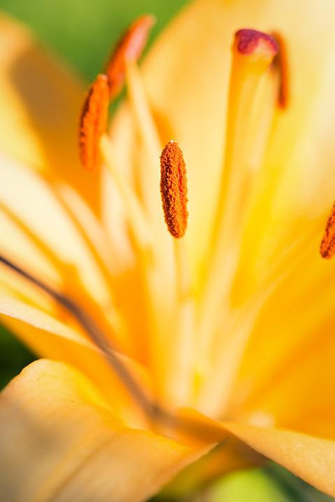 Lily, Blossom, Bloom, Yellow Flower, Flower, Pistil