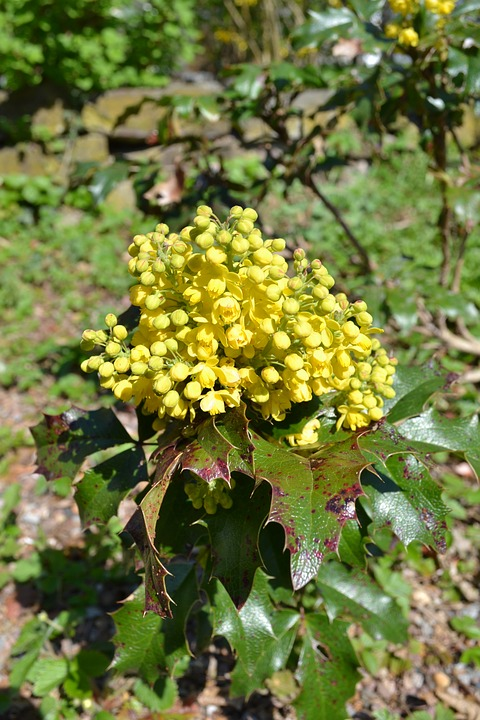 Free Photo Yellow Flower Blossom Flower Holly Plant Yellow Max Pixel