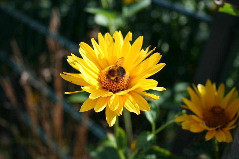 Yellow Flower, Hummel, Yellow, Blossom, Bloom, Flower