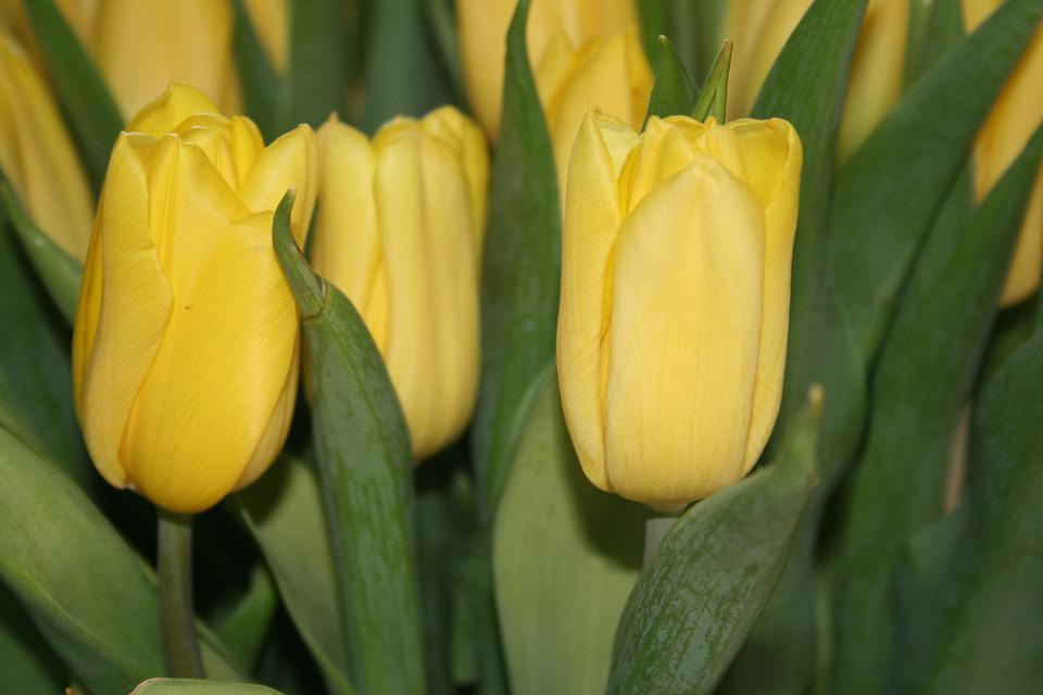 Free photo yellow flower colour easter flowers tulips garden max pixel tulips flower flowers garden yellow colour easter mightylinksfo