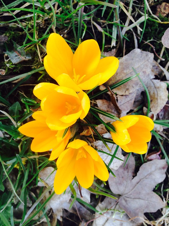 Crocus, Flower, Yellow, Spring, Bloom