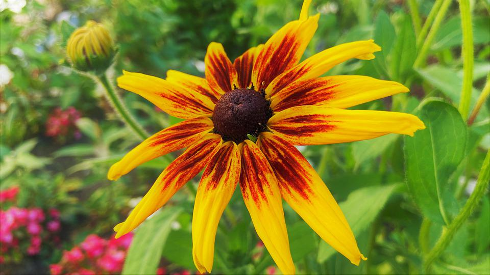 Rudbeckia, Flower, Plant, Coneflower, Yellow Flower
