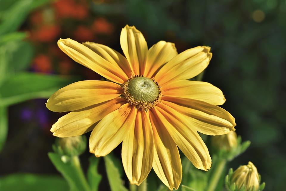 Flower, Cutleaf Coneflower, Blossom, Yellow Flower