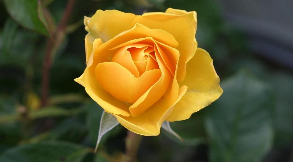 Flower, Rose, Garden, Yellow Rose, Yellow Flower