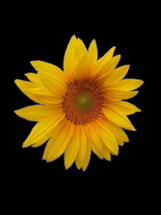 Sunflower, Flower, Flower Head, Yellow Flower, Plants