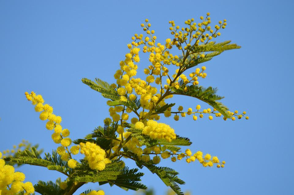 Free photo yellow flower flower mimosa tree yellow garden max pixel mimosa flower yellow yellow flower tree garden mightylinksfo