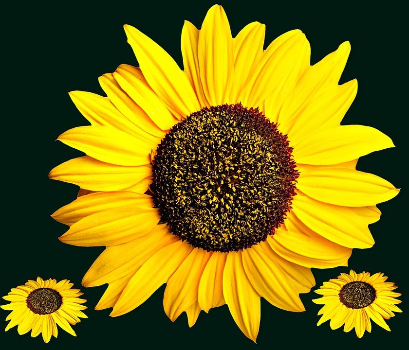 Free photo yellow flower flower plants sunflower flowers max pixel sunflower plants flowers flower yellow flower mightylinksfo