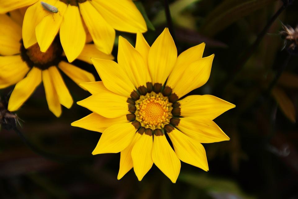Gazania, Flower, Spring, Yellow Flower, Focus