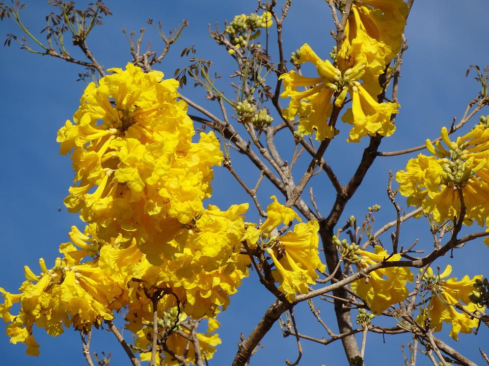 Yellow Flower, Yellow Ipê, Flowers, Tree, Yellow