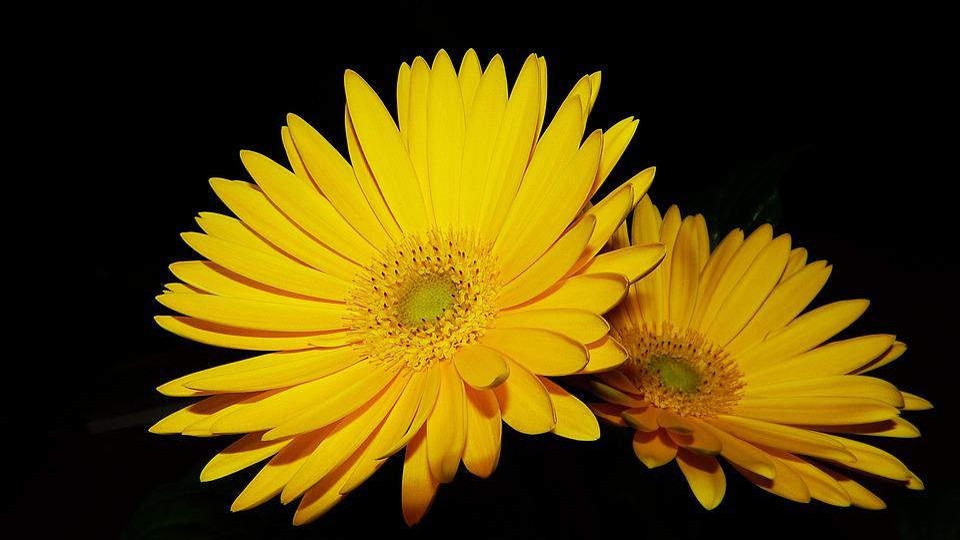 Gerbera, Yellow, Close, Yellow Flower, Decoration