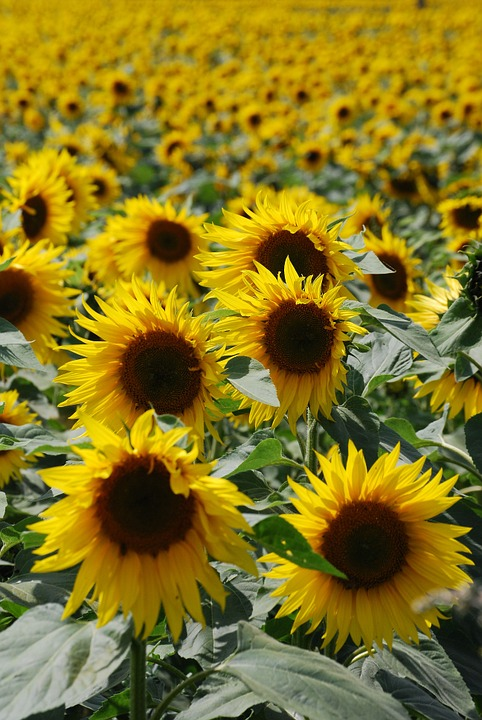 Sunflower, Helianthus Annuus, Yellow, Flower, Seed