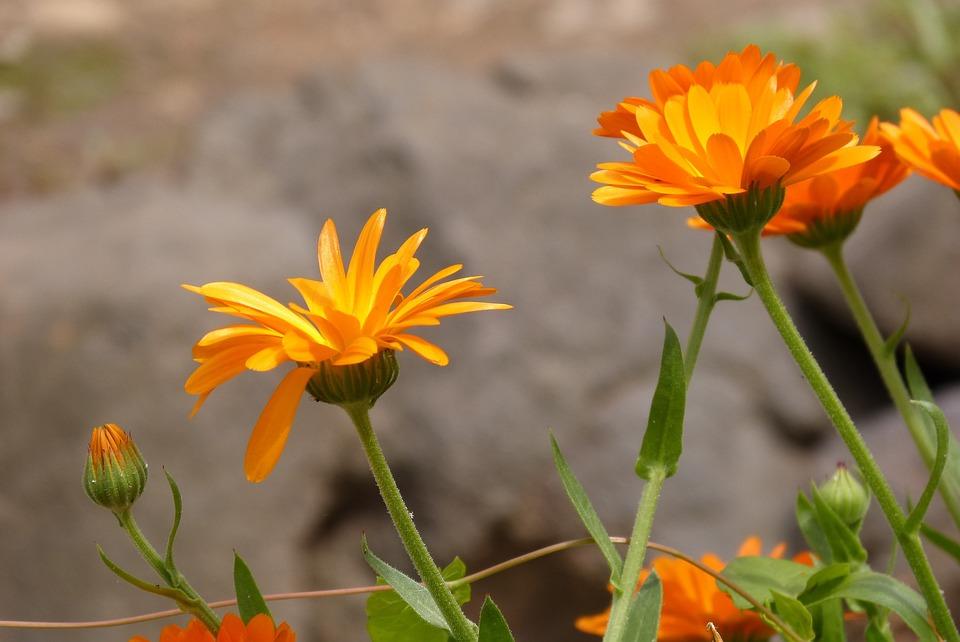 Flower, Marigold, Yellow