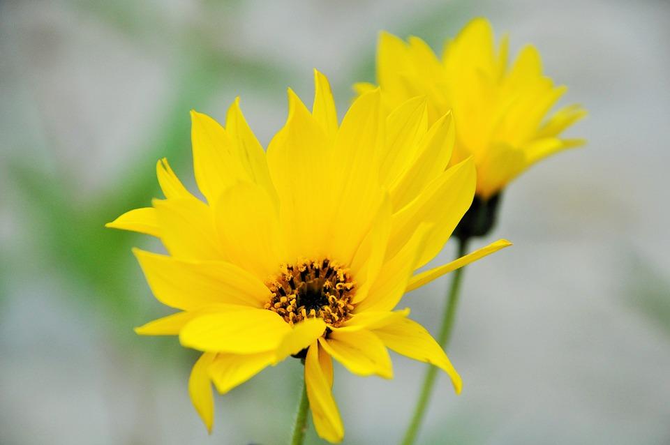 Flower, Yellow Flowers, Yellow, Yellow Flower, Nature