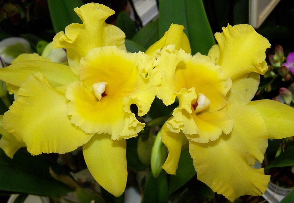 Orchid, Yellow Flower, Room Plant