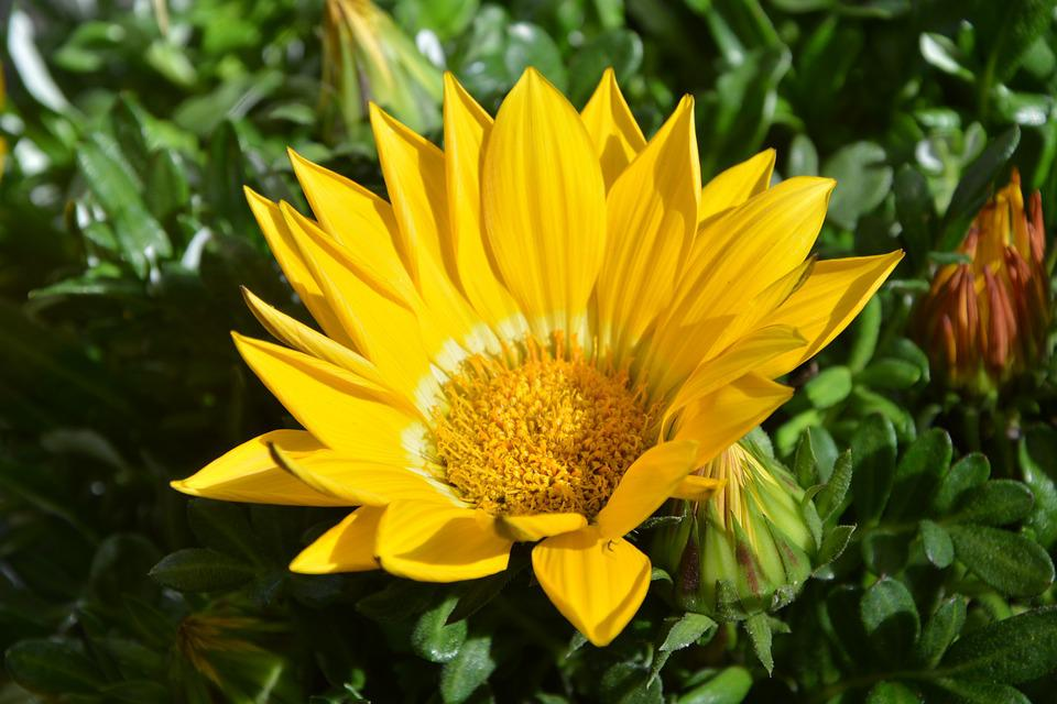 Flower, Yellow Flower, Petals, Flowering Plant, Nature