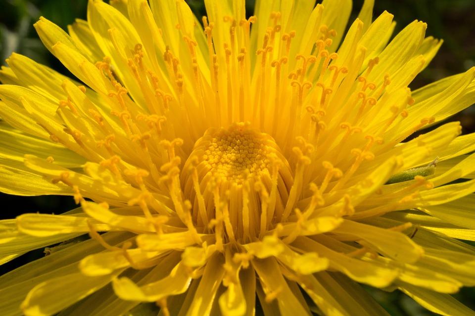 Dandelion, Yellow, Flower, Petals, Yellow Flower