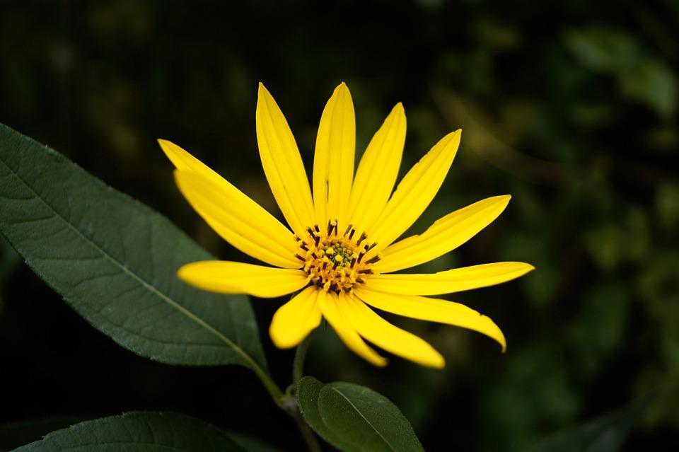 Dísznapraforgó, Sunflower, Flower, Yellow Flower, Plant