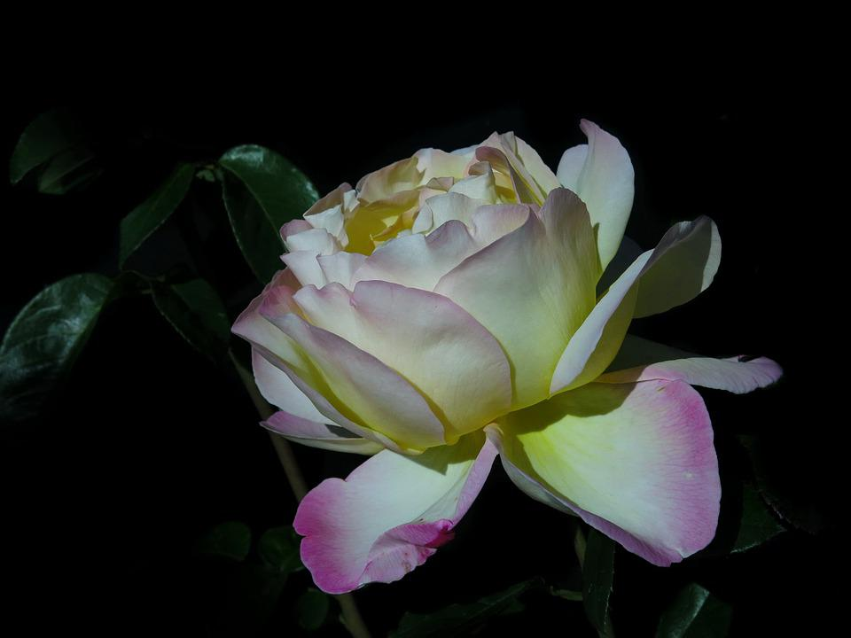 Rose, Pink, Soft Pink, Yellow, Nature, Flower, Plant