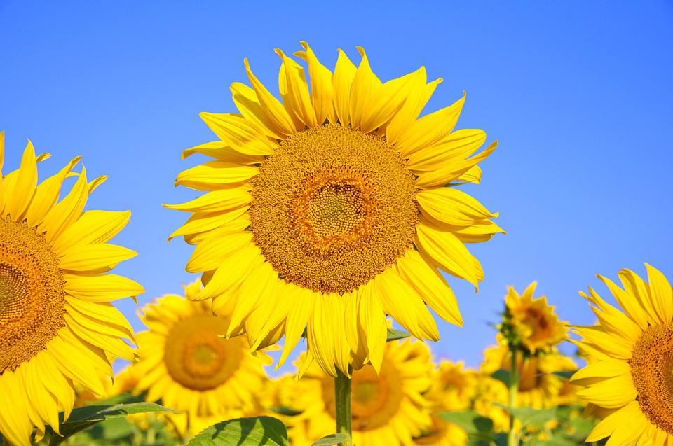 Sunflower, Yellow Flower, Summer, Plants