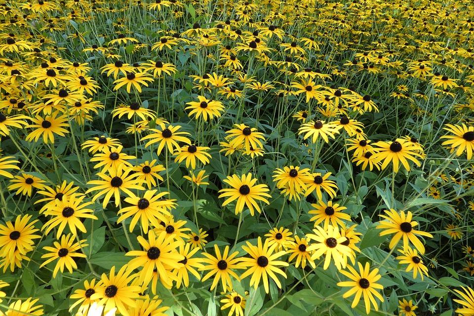 Flowers, Rudbeckia, Nature, Petals, Yellow Flower