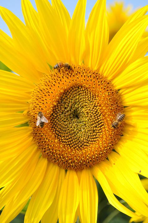Sun Flower, Bee, Nature, Yellow, Plant, Flower